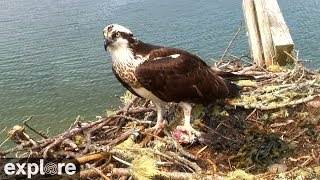 Download Audubon Osprey Nest powered by EXPLORE.org Video