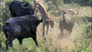 Download Wildlife Buffalo Fight Back Lion Video