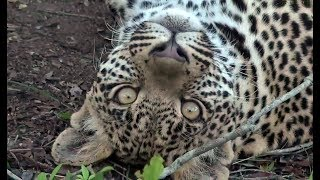 Download SafariLive - The story of Male leopard Hosana! Video