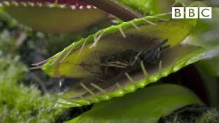 Download Hungry Venus flytraps snap shut on a host of unfortunate flies | Life - BBC Video