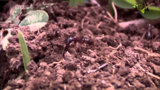 Download Army Ants: Nature's Deadliest Organization Video