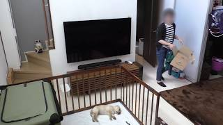 Download 家に帰ってきたら ラブラドールの子犬が寝ていた / 生後49日 Labrador retriever チャピーの成長日記 #02 Video