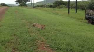 Download Amazing Cheetah stalking Warthog Video