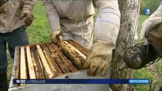 Download Un apiculteur lorrain victime de vol de ruches Video