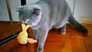 Download Naughty Cats 😜🐱 Funny Bully Cats (Part 1) [Funny Pets] Video