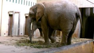 Download Elephant pees;-) Video