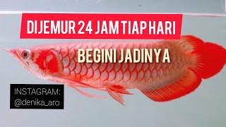 Download Edisi Ikan: Iseng Beli Arowana SR Video