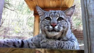 Download MAX - Rescued ″Pet″ Bobcat Video