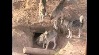 Download Wolf Pack At The Wild Animal Sanctuary/ In The Den Video