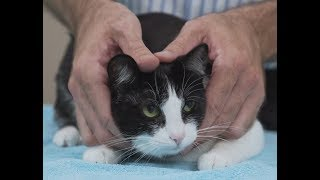 Download How to pick up a cat like a pro - Vet advice on cat handling. Video
