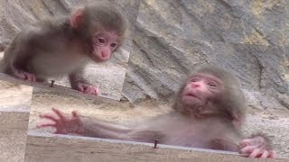 Download Baby monkeys fall over. Video
