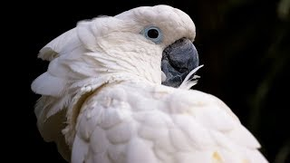 Download Funny Cockatoo Talking Compilation - Cockatoo Funny 😂😁 Video