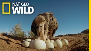 Download How to Protect Ostrich Eggs | Animal All-Stars Video
