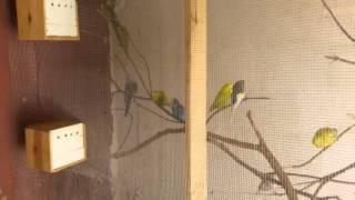 Download Muhabbet kuşu salmam Video