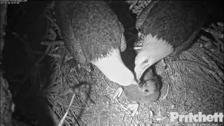 Download SWFL Eagles ~ Harriet Swallows Pig Pelt; Evening Dual Feedings for E9 1.20.17 Video