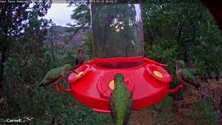 Download Female Broad-billed and Black-chinned Hummingbirds Among Morning Feeder Guests – May 22, 2018 Video