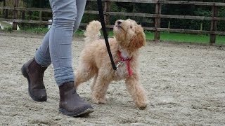 Download Harry - Labradoodle Puppy - 3 Week Residential Dog Training at Adolescent Dogs Video