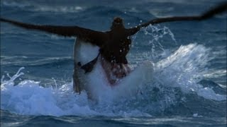 Download Tiger Shark Attack! | Benedict Cumberbatch Narrates South Pacific | BBC Earth Video