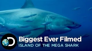 Download The Biggest Great White Ever Filmed | Island of the Mega Shark Video