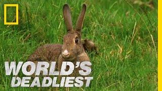 Download Stoat Hypnotizes Rabbit | World's Deadliest Video