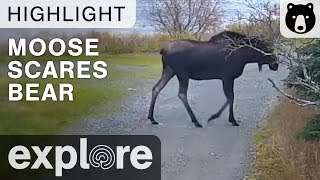 Download Moose Scares Bear - Katmai National Park - Live Cam Highlight Video