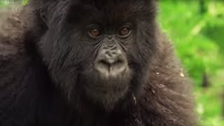 Download Family of Mountain Gorillas | Cousins | BBC Video