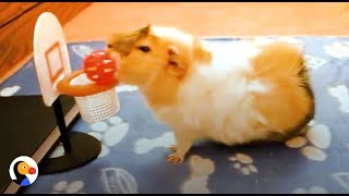 Download SMARTEST Guinea Pigs Do THE COOLEST Tricks | The Dodo Video