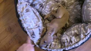 Download Italian Greyhound Puppy - Pure happiness Video