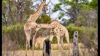 Download Epic Giraffe Fight (like you have never seen before). Incredibly rare wildlife footage! Video