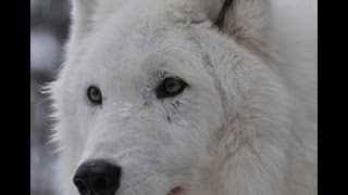 Download International Wolf Center 15 February 2013 - Rank Order Observations Video