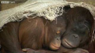 Download Emotional Expressions of an Orangutan - The Story Of Science - Episode 6 Preview - BBC Two Video