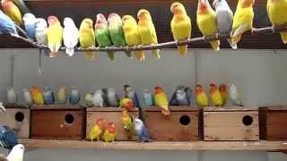 Download My love birds farm opaline / Agapornis Růžohrdlý Video