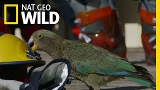 Download A Very Curious Parrot | Wild New Zealand Video