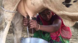 Download Indian cow Milk full length live video Video