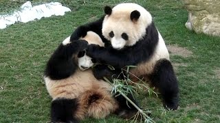 Download 【声もかわいい❤】ゆずれない!🐼桜浜&桃浜☆竹争奪戦♪【ふたごパンダ】Giant panda -Ouhin&Touhin-☆My bamboo~!! Video