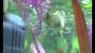 Download guppy pariendo en (acuario domestico) Video
