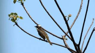 Download Chinese Bulbul singing 白頭翁 Pycnonotus sinensis Video
