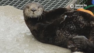 Download Meet Selka, our newest resident sea otter! Video
