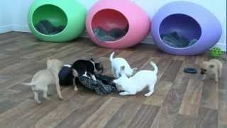 Download Chihuahua Puppies for Sale Video