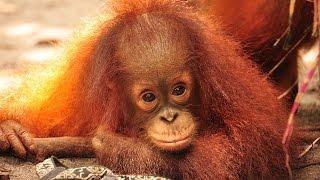 Download Jumbo the Orangutan! Video