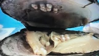 Download OVER 20 REAL GIANT PRICELESS PEARLS FOUND IN OYSTER DIG IT FUN HOUSE TV Video