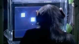 Download IMPRESSIONNANT!!! Mémoire immediate,singe vs homme Video