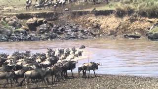 Download Wildebeest crossing a river at the Masai Mara reserve Video