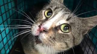 Download Blind feral cat Hyatt can SEE, and got to go home! TinyKittens Video