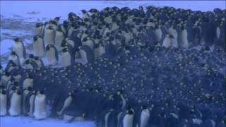 Download Emperor Penguins Huddle for Warmth | Nature on PBS Video