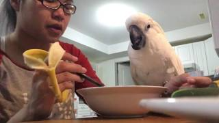 Download My cockatoo having lunch with mommy 😍 so adorable ❤❤❤ Video