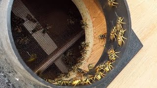 Download Wasp sucking machine XL Video