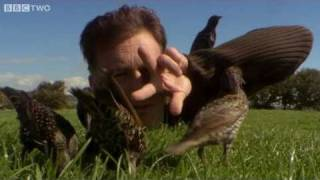 Download Help! I'm Being Predated By A Starling! - The Animal's Guide To Britain, Episode 2 - BBC Two Video