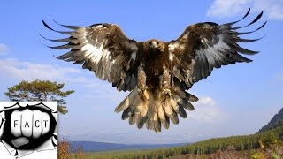 Download Top 10 Largest Eagles Around The World Video