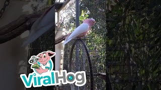 Download Cockatoo Goes for a Ride || ViralHog Video